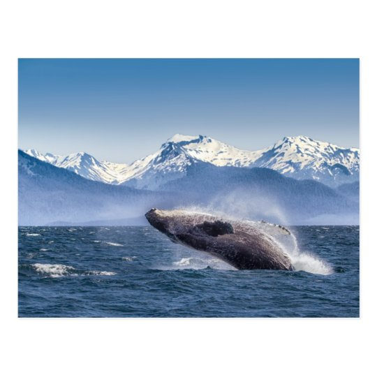 Breaching Humpback Whale In Alaska Postcard