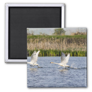 Breeding pair of tundra swans takeoff for refrigerator magnets