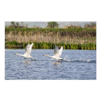 Breeding pair of tundra swans takeoff for photo print
