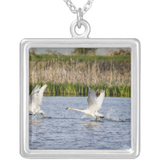 Breeding pair of tundra swans takeoff for silver plated necklace