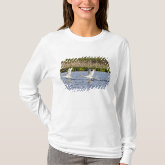 Breeding pair of tundra swans takeoff for T-Shirt