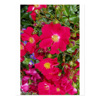 Briar Roses and Sweet Violets Postcard