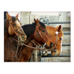 Bridled Horse Heads Post Cards