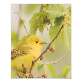 Bright and Cheerful Fella - Yellow Warbler Photo Print