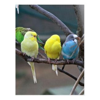 Bright Colorful Parakeets Budgies Parrots Birds Postcard