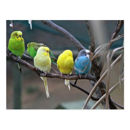 Bright Colorful Parakeets Budgies Parrots Birds Post Card