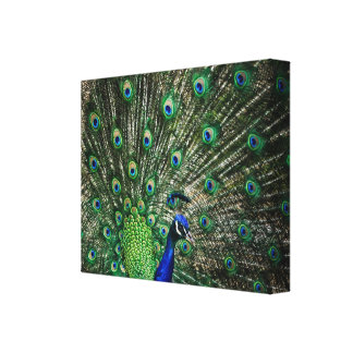 Bright Peacock Gallery Wrapped Canvas