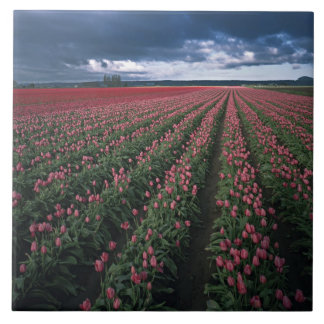 Bright pink and red tulips glow under dark tile