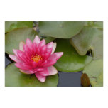 Bright Pink Water Lily Flower Poster