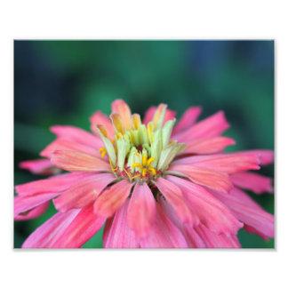 Bright Pink Zinnia Flower Photo Print