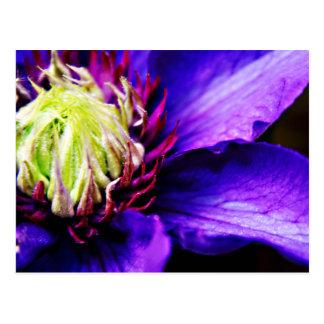 Bright Purple clematis flower art postcard
