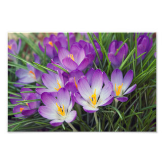 Bright Purple Spring Crocus Flowers Photo
