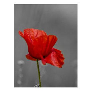 Bright red Poppy on grey back ground Postcard