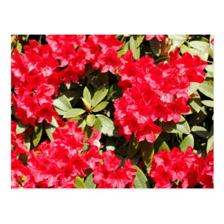 Bright Red Rhododendron Flowers Postcard