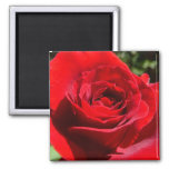 Bright Red Rose Flower Beautiful Floral Square Magnet