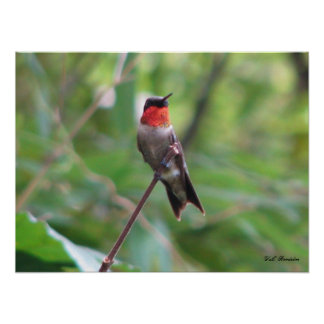 Bright Red Ruby Throat Poster
