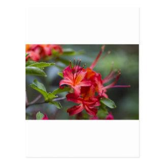 Bright Red Spring Blooming Azaleas Pentanthera Postcard