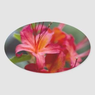 Bright Red Spring Blooming Azaleas Pentanthera Oval Stickers