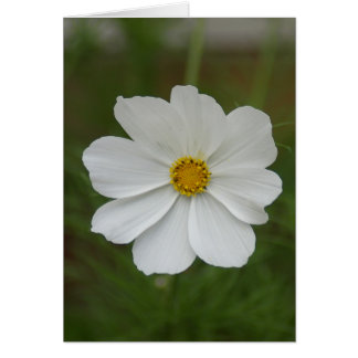 Bright, white cosmos flower photo print card
