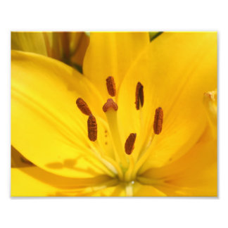 Bright Yellow Asiatic Lily Closeup Photographic Print