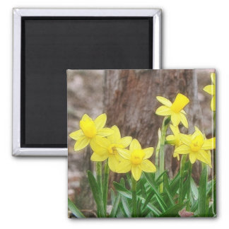Bright Yellow Daffodils Square Magnet