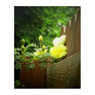 Bright yellow Roses and Fence or make your own! Acrylic Print