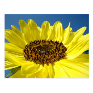 Bright Yellow Sunflower postcards Blue Sky