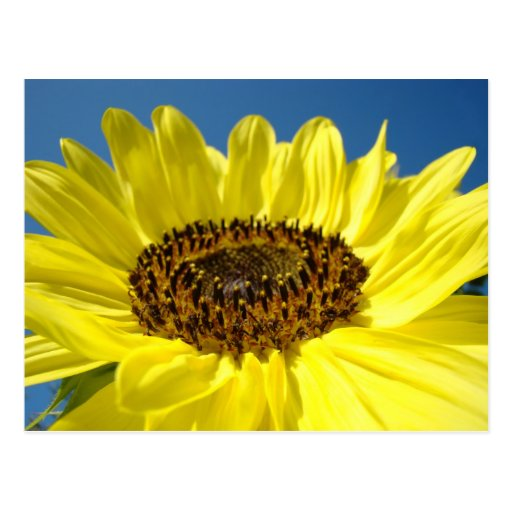 Bright Yellow Sunflower postcards Blue Sky