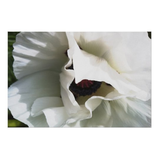 Brilliant White Oriental Poppy: Large Format Print