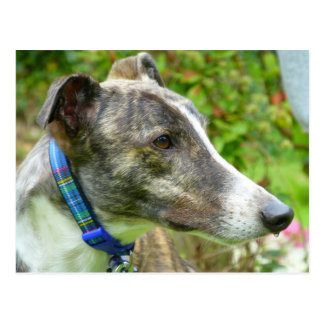 Brindle and white greyhound (a345) postcard