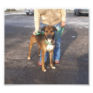 Brindle and White Mastiff Standing Outside Art Photo