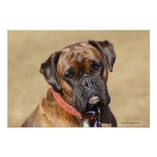Brindle Boxer Dog Poster