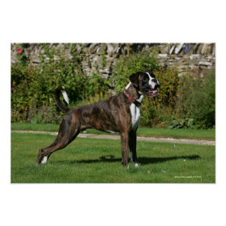 Brindle Boxer Dog Show Stance Poster