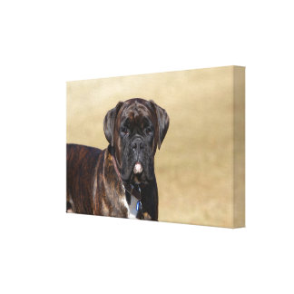 Brindle Boxer Dog Standing Canvas Print