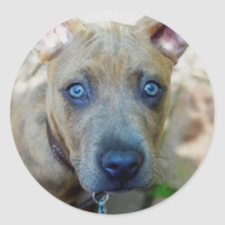 Brindle Pit Bull Puppy by Shirley Taylor Round Sticker