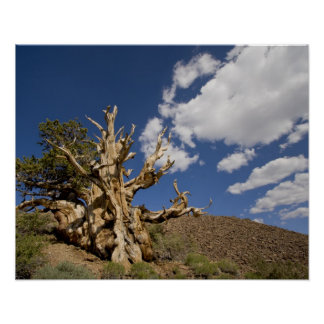 Bristlecone pine in Ancient Bristlecone Forest, Poster