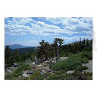 Bristlecone Pine Tree Greeting Card