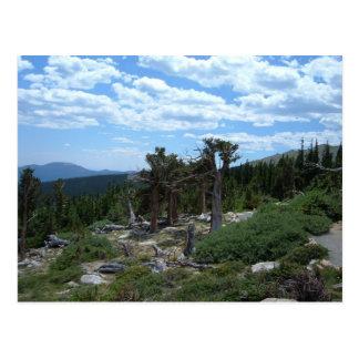 Bristlecone Pine Tree Postcard