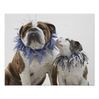 British bulldog and puppy wearing jester collar, poster
