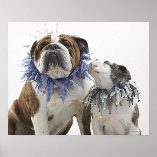 British bulldog and puppy wearing jester collar, poster
