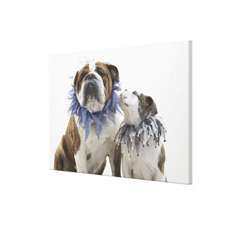British bulldog and puppy wearing jester collar, stretched canvas prints
