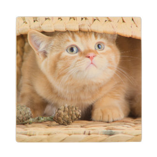 British Kitten Looking Out From Under A Basket Wood Coaster