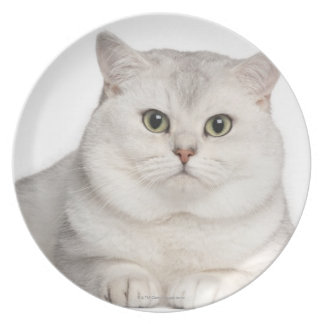 British Shorthair (2 years old) lying in front Plate