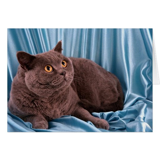 British Shorthair, blue Card