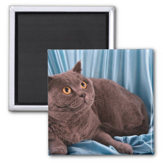 British Shorthair, blue Square Magnet