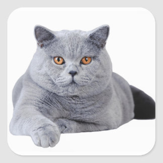 British shorthair cat square sticker