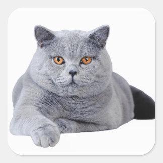 British shorthair cat square sticker