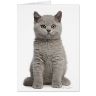 British Shorthair Kitten (10 weeks old) 2 Card