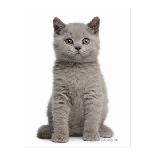 British Shorthair Kitten (10 weeks old) 2 Postcard