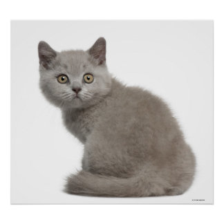 British Shorthair Kitten (10 weeks old) 2 Poster